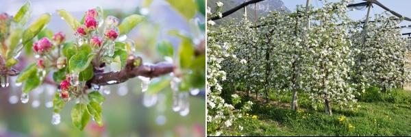 Frostschutz und Apfelblüte Apfel